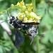 Wildbiene bee 160518 1534.jpg