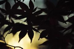 the hush of twilight (christiaan_25) Tags: japanesemaple acerpalmatum leaves leaf tree woods forest backlit silhouette bokeh autumn fall sunlight sunshine light shadow bright dark alive transition change season mortonarboretum plant foliage outdoor depthoffield irohamomiji  momiji