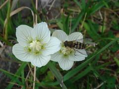 Hoverfly_on_Grass_of_Parnassus (Abbey_L) Tags: alps animal bogstar day1pointedangolon flower france frenchalps grassofparnassus hoverfly insect outbreakadventure samoens tjpio
