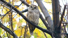 barred owl (quadceratops) Tags: massachusetts nature norfolk county barred owl 2016q4 inexplore