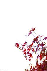 IMG_8369 (Juan Manuel Sanchez) Tags: otoo adrianospicture juanmanuelsanchez hojas arce rojo niebla fog campo montaa madrid espaa canon d60 naturaleza maana cielo silueta contraluz cesped hierba bosque norte