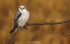 Black Shouldered Kite (Jawad_Ahmad) Tags: naturelover naturephotography nature beautyofnature beautiful beauty wings bokeh colors look eyes flicker jawads jawadsphotography sialkot pakistan