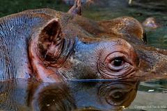 Hippopotamus amphibius (DirkVandeVelde back) Tags: europa europ europe belgie belgium belgica belgique biologie indoor antwerpen anvers antwerp animalia animal zoo mammalia zoogdieren hippopotamusamphibius nijlpaard chordata artiodactyla hippopotamus sony fauna