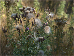 Thistles in September (Felip1) Tags: 16911 thistle distel