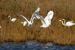 7K8A3911 (rpealit) Tags: scenery wildlife nature chincoteaque national refuge great egrets bird egret