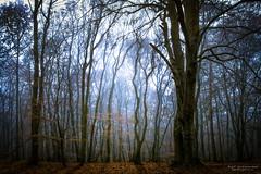 Ghost Fog (Festblick) Tags: landscape nature forest woods morning fog mist sun early nebel dunst wald forst bume morgen sonne