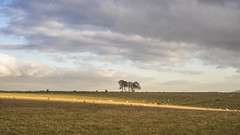 Clump, Light, and Sheep (stevedewey2000) Tags: salisburyplain wiltshire landscape trees spta sptacentre copse stand sheep sunlight cloudscape clouds helios 442 58mm explore explored