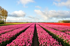 Some more weeks to go....Holland Magic (powerfocusfotografie) Tags: flowers sky holland colors clouds vanishingpoint tulips horizon groningen agriculture distance henk nikond90 powerfocusfotografie magicalskiesmick