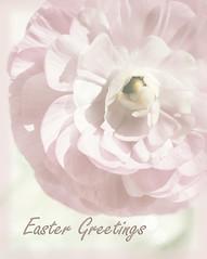 Easter Greetings (AJ Cook) Tags: flowers ranunculus textures textured kimklassen beyondlayers