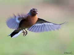Head On (StevieC-Photography) Tags: bird nature canon wildlife bif chaffinch 60d steviec naturethroughthelens