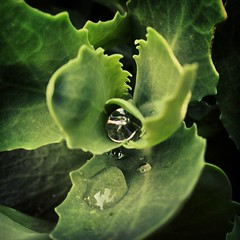 Instagram Invasion (maistora) Tags: uk england plant flower reflection green home water rain mobile garden square lens reading backyard phone britain thing sony cellphone drop diamond sparkle smartphone filter dew crop stupid damage droplet cropped shrub process berkshire effect postprocess android app edit jewel zoomin addictive charvil 12mp maistora xperia instagram xperias