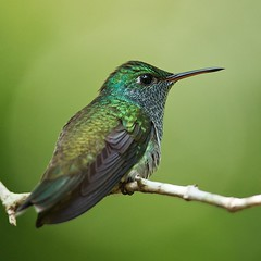 Versicoloured Emerald (Amazilia versicolor)? (PeterQQ2009) Tags: brazil birds