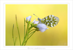 Aurore - Anthocharis cardamines (YannLeBris) Tags: france macro butterfly photo bretagne papillon aurore anthochariscardamines proxi canoneos1dmiii yannlebris