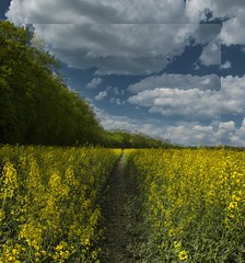 Path through the canola (KF-Photo) Tags: pentax weg pfad rapsfeld waldrand einsiedel tamron1750 doppelbild pfrondorf k20d doppelkonturen rapspfad