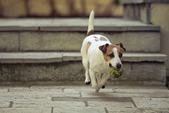 Grappa Run (nmastoras) Tags: dog pet pets cute dogs animal animals jack jrt russell action terrier freeze jackrussell jackrussellterrier actionshot