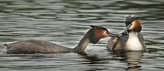 Great-crested grebe feeding chick (Czech Conroy) Tags: birds canon newt grebe wetland greatcrestedgrebe