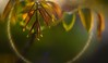♠♠♠   ♡ (cнαт-ɴoιr^^) Tags: light colors leaves 50mm spring flora walnut blätter farben frühling gegenlicht allxpressus walnus beyondbokeh pentaxkr