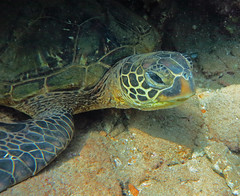 juvenile face (bluewavechris) Tags: ocean life sea brown green nature water animal coral swim canon hawaii sand marine underwater snorkel turtle reptile wildlife dive shell maui scales creature flipper freedive g1x