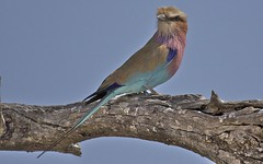 Lilac-breasted Roller, female (scothall2012) Tags: zimbabwe lilacbreastedroller hawangenationalpark