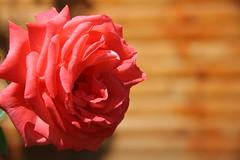 Rose2 (vigatis) Tags: flower canonefs1785isusm