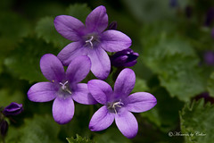 The three amigos (Canon Queen Rocks) Tags: flowers plants nature leaves petals stem blooms mothernature purples starlike
