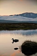 (Richter_) Tags: sunset sun reflection june iceland duck pond midnight 7d ingvellir 2013 botnslur