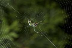 Spider eating series 32 (Richard Ricciardi) Tags: spider eating web spinne araa  araigne ragno timeseries     gagamba    nhn  spidertimeseries