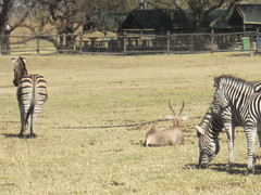IMG_1769 (andycarvin) Tags: southafrica johannesburg lionpark 2013