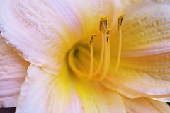 Summer Lily (bigbrowneyez) Tags: flower macro nature beautiful yellow golden petals gorgeous details blossoms center stamens lovely mygarden core bello fioro belissimo summerlily miogiardino allxpressus vigilantphotographersunite mygardenlily