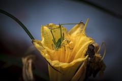 IMG_4624 (TomBerrigan) Tags: grasshopper t4i