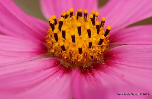 Cosmos Pollen