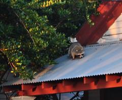 Carrollton raccoon