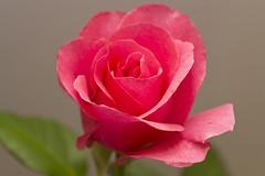 Rose (34) (arfi_arfi) Tags: flowers red roses portrait plants plant flower color macro art nature colors beauty rose garden petals flora affection artistic blossom artisticphotography flowerart flowerscolors amazingdetails