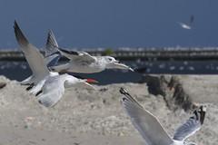 Air Traffic Control? (jah32) Tags: bird birds nikon lakeerie gulls flight greatlakes beack crowded poc ringbilledgull terns portstanley commontern d7100 oughttamyway