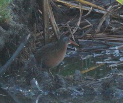 Virginia Rail (jellis50) Tags: coyote hills virginiarail dusttrail ebparksok
