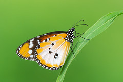 Plain Tiger Butterfly (Dave Montreuil) Tags: africa west beautiful butterfly insect african tiger monarch westafrica gambia spotted senegal lovely plain danaus chrysippus