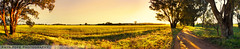 Discover Canola Country || CENTRAL TABLELANDS (rhyspope) Tags: road street morning flower tree field yellow rural sunrise canon fence golden countryside farm country meadow australia crop aussie avenue canola 500d centraltablelands rhyspope