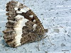 Grosser Waldportier (Hipparchia fagi) (HITSCHKO) Tags: italien cn lepidoptera nocciola schmetterlinge piemont nymphalidae satyrinae edelfalter hipparchiafagi bergolo altalanga augenfalter haselnüssen cuenoi paesedipietra cortedmilia bórmidata grosserwaldportier