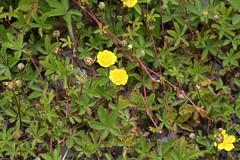 Potentilla reptans, Kriechendes Fingerkraut (julia_HalleFotoFan) Tags: rosaceae potentilla fingerkraut potentillareptans rosengewchs kriechendesfingerkraut