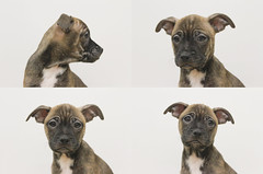 Franklin (Immature Animals) Tags: chihuahua puppy franklin 4 pug ears quad marshall derek brindle snout