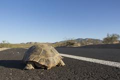 Desert tortoise (Gopherus agassizii); crossing roadway (Joshua Tree National Park) Tags: california road nationalpark desert tortoise joshuatree mojave gopherusagassizii