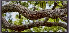 Twisted (I) (gtncats) Tags: park tree nature outside bokeh outdoor bark treebark twisted midsouth ef70300mm twistedbark canon70d photographyforrecreation infinitexposure twistedlimb