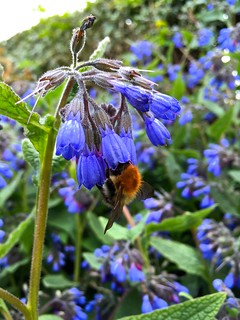 Bee In Your Borage