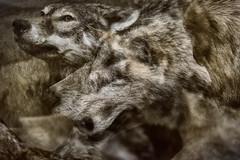 Wolves (pni) Tags: wolf taxidermy multiexposure multipleexposure tripleexposure museum thefinnishmuseumofnaturalhistory luonnontieteellinenkeskusmuseo museo naturhistoriskacentralmuseet luomus helsinki helsingfors finland suomi pekkanikrus skrubu pni animal