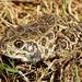 Northern Crawfish Frog, Male