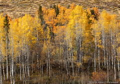 Quaking Aspen Aglow (David C. McCormack) Tags: americana artistic country eos6d eos environment tetons west western grandtetonnationalpark grandteton hiking inspiration jacksonhole jacksonwyoming moranjunction landscape mountains nature outdoor rockymountains rural wyoming fallcolors