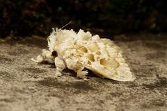 Cup Moth (Altha cf. nivea, Limacodidae) (John Horstman (itchydogimages, SINOBUG)) Tags: insect macro china yunnan itchydogimages sinobug moth lepidoptera cup limacodidae trap topf25 fbl