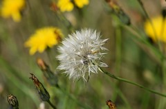 (careth@2012) Tags: dandelion flower nature