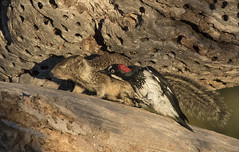 The Woodpecker and the Squirrel (Ken Phenicie Jr.) Tags: acornwoodpecker attack squirrel