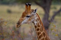 Giraffe (leendert3) Tags: giraffe ngc sunrays5 npc